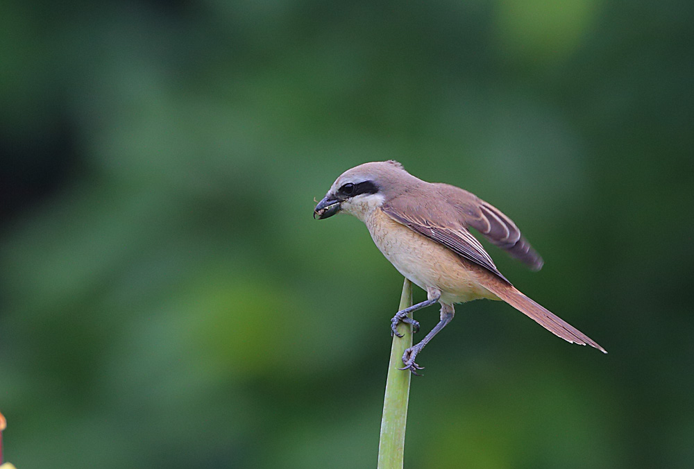 Brown Shrike 5B3C5753.jpg