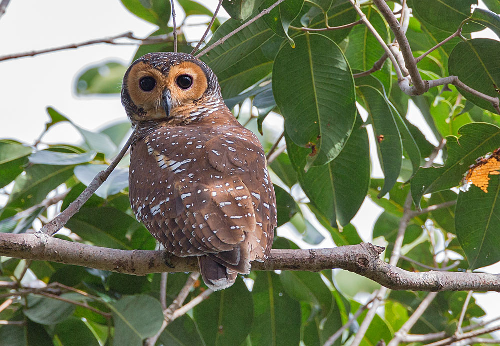 Spotted Wood Owl 5B3C7462.jpg