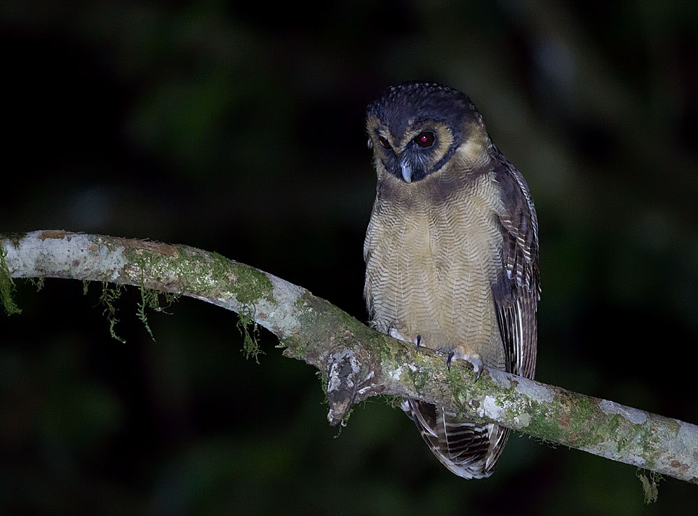 Brown Wood Owl 5B3C6885.jpg