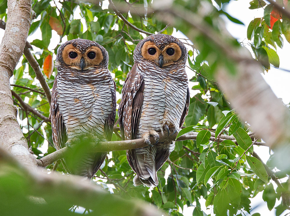 Spotted Wood Owl 5B3C7574.jpg
