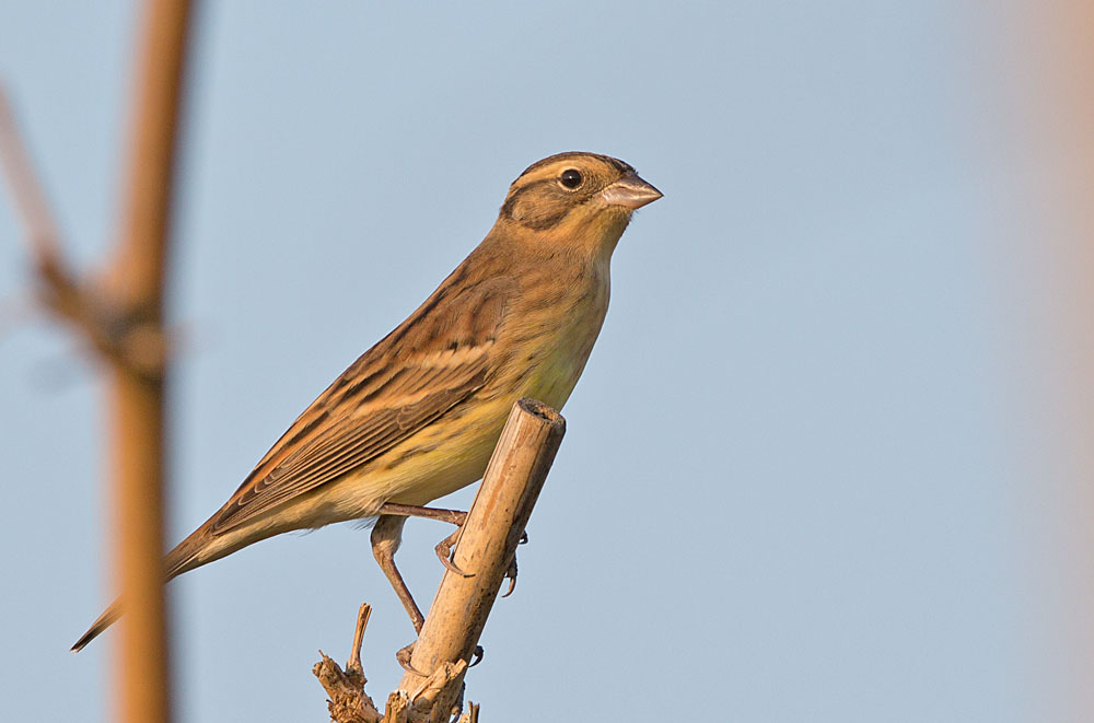 Yellow-breasted Bunting 5B3C7215.jpg