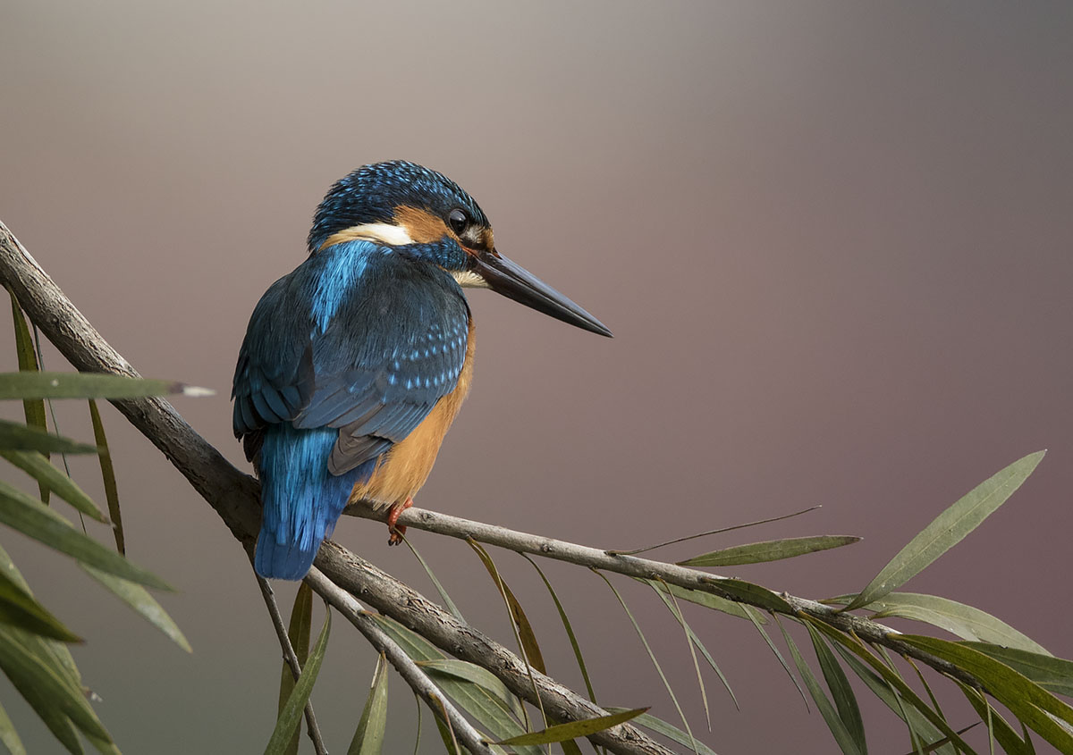 Common Kingfisher 875A7531.jpg
