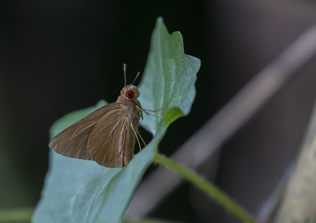 瑪弄蝶 Common Redeye 875A5808.jpg