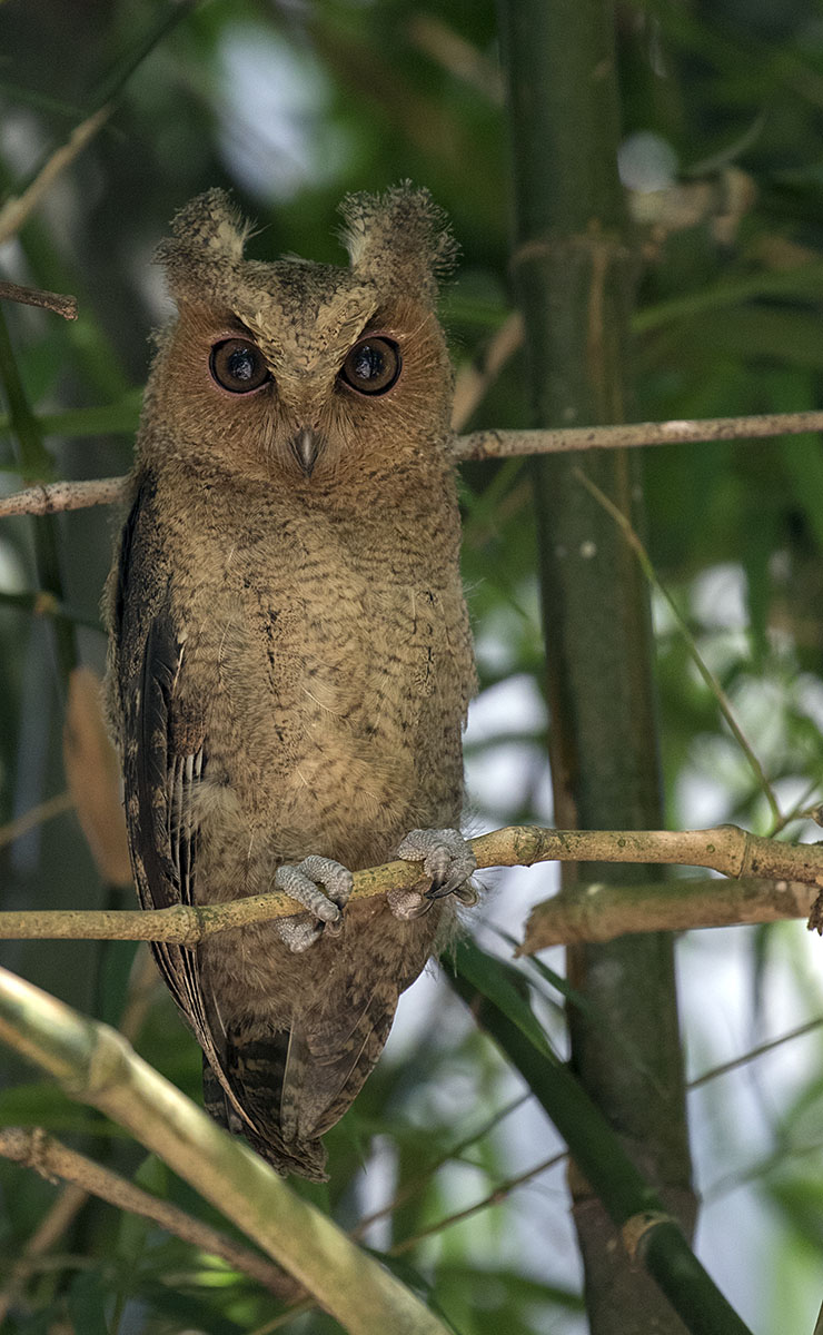 Collar Scops-owl 875A0638.jpg