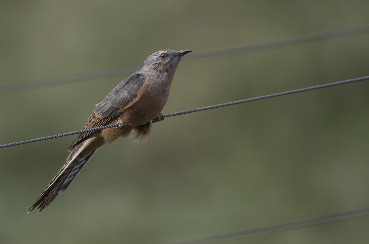 Plaintive Cuckoo 875A5641.jpg