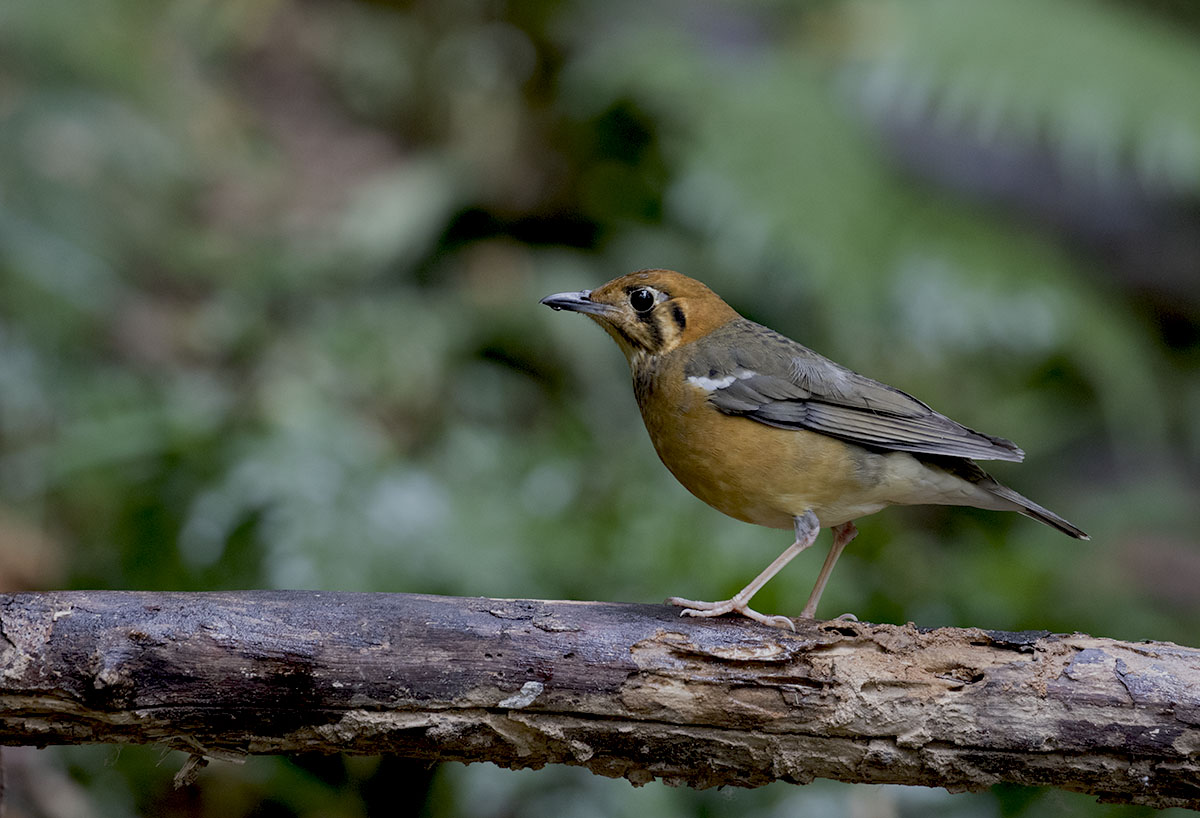 Orange-headed Thrush 875A7161.jpg