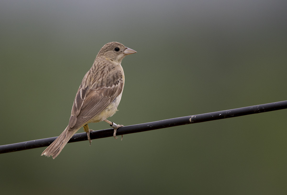 Black-headed Bunting 875A6794.jpg