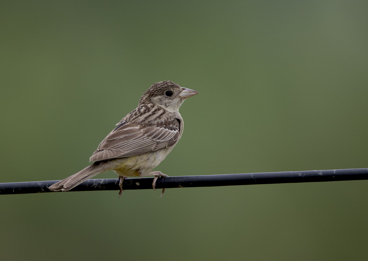 Black-headed Bunting 875A6745.jpg
