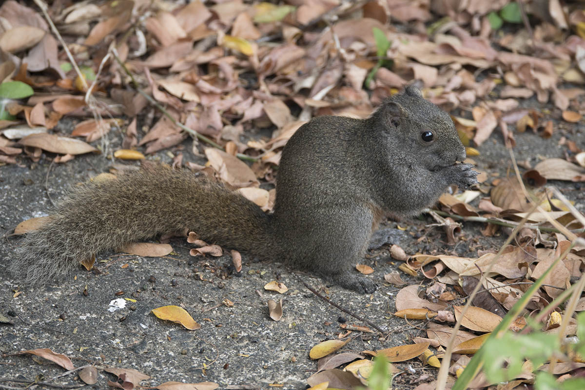 Pallas's Squirrel SDSC06587.jpg