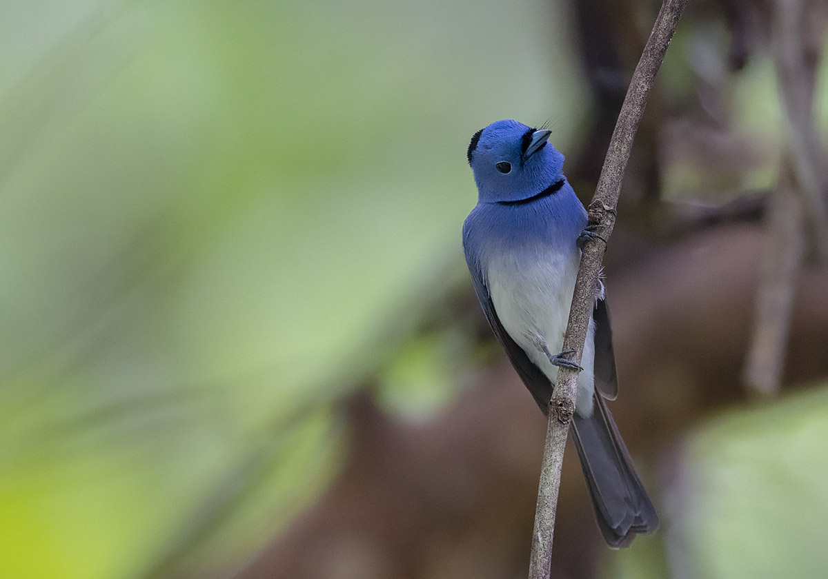 Black-naped Monarch DSC02779.jpg
