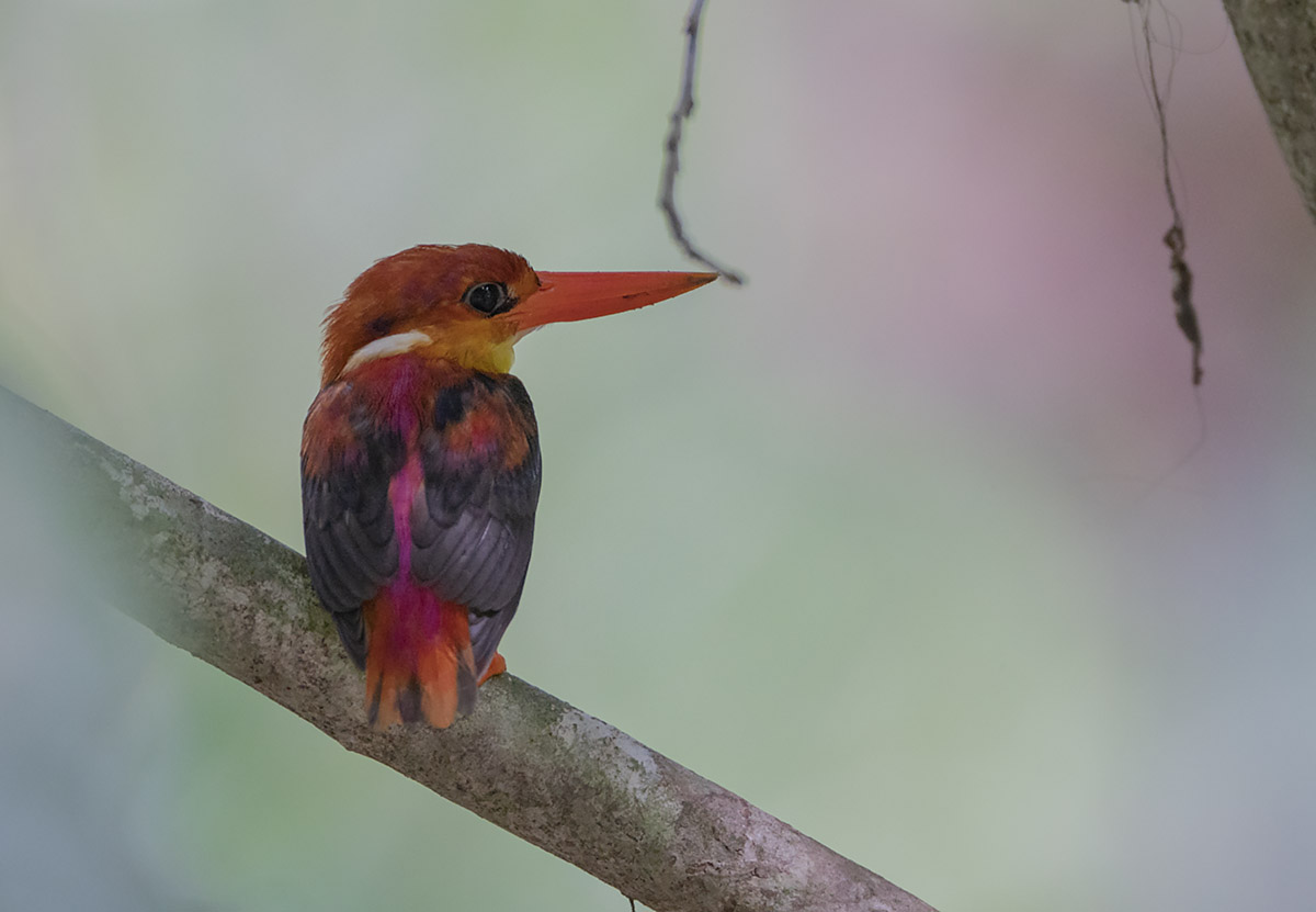 Rofous-backed Kingfisher Sabah race 6000-4632 DSC03442.jpg