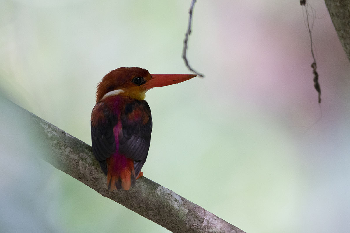 Rofous-backed Kingfisher Sabah race 6000-4824 A DSC03442.jpg