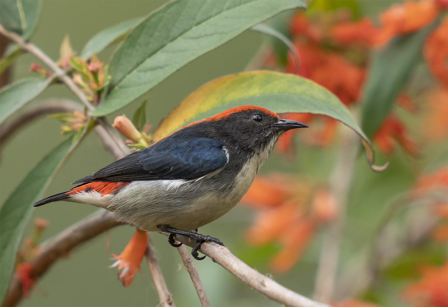 Scarlet-backed Flowerpecker DSC03132.jpg