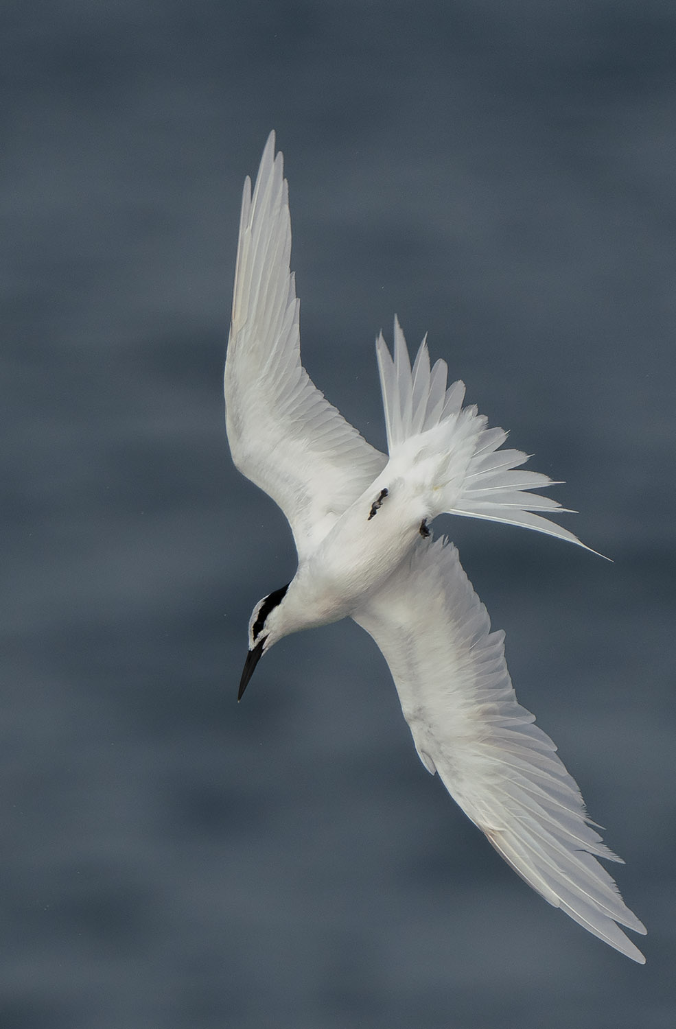 Black-naped Tern DSC02522.jpg