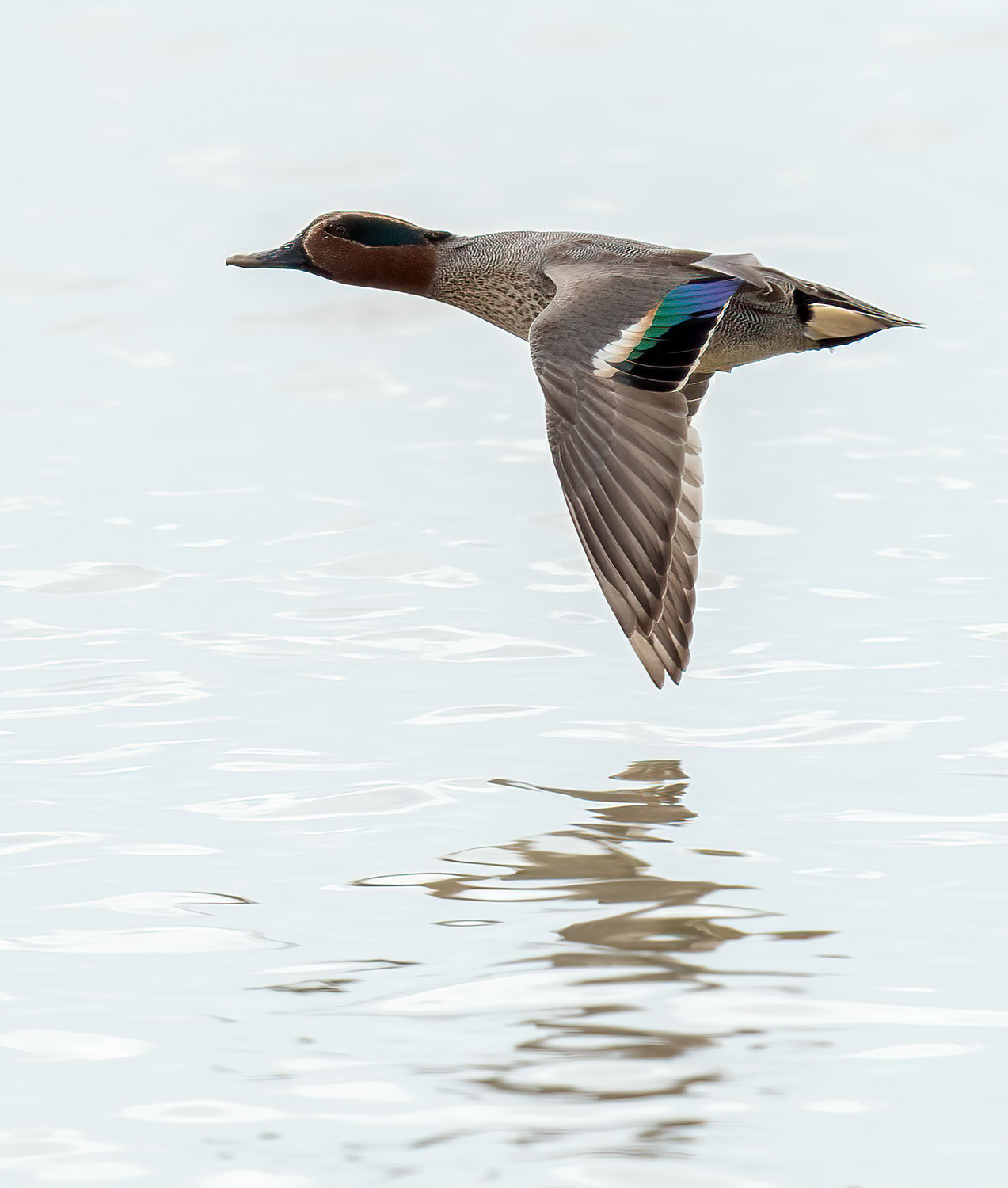 Common Teal DSC02317 D+S.jpg
